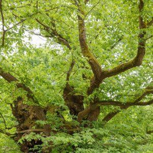 Wild durcheinander wachsende Äste eines Baumes