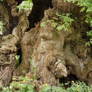 Stamm eines Bäumes mit Höhlen, Rissen und Mulden
