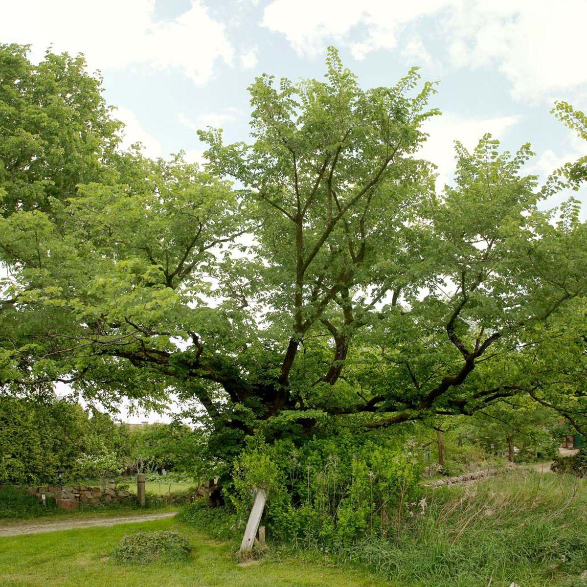 Die knochige Ulme von Nindorf