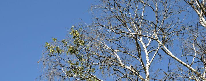 Birkenkrone mit wenigen Blättern