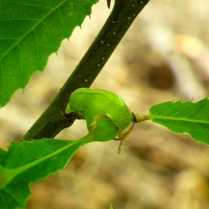 Pflanzengalle der Gallwespe an einem Esskastanienblatt.
