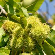 Maroni, die Früchte der Esskastanie am Baum.
