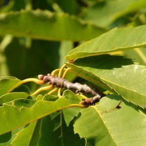 Blätter und Knopsen der Esskastanie