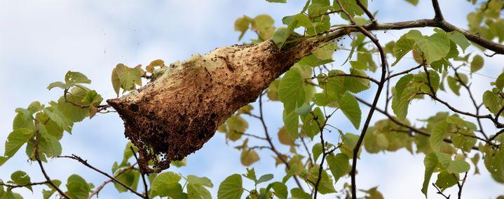 Wollafter:  Große Gespinste in Linden – Gefahr für Baum und Mensch?
