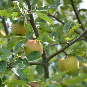Äpfel an einem Ast