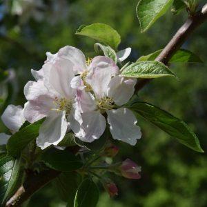 Apfelblüte an einem Zweig