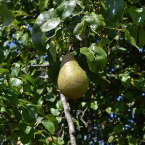 Birne an einem Baum