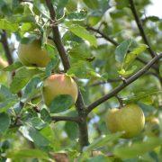 Drei Äpfel an einem Apfelbaum-Ast