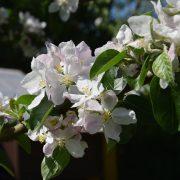 Apfelblüten an einem Ast mit Blättern