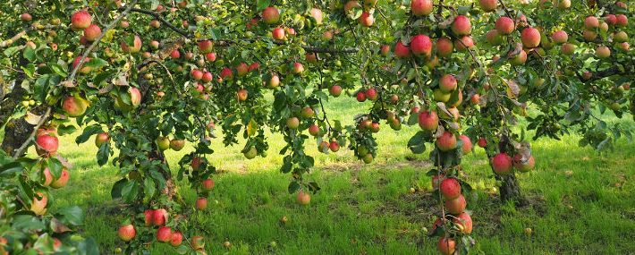 Voll behangene Äste eines Apfelbaumes