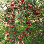 Zahlreiche rote Äpfel an einem sich zum Boden biegenden Apfelbaum Ast