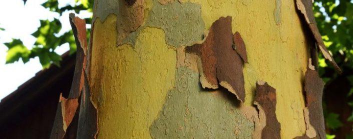 Schuppige Borke der Platane