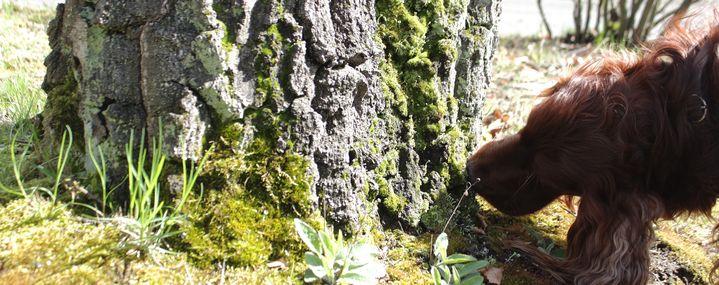 Pathogenspürhunde – Baumkontrolleure mit Spürnase