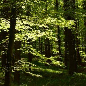Laubwald wird von Sonne durchflutet.