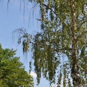 Zweige eine Birke hängen ohne Blätter herab.