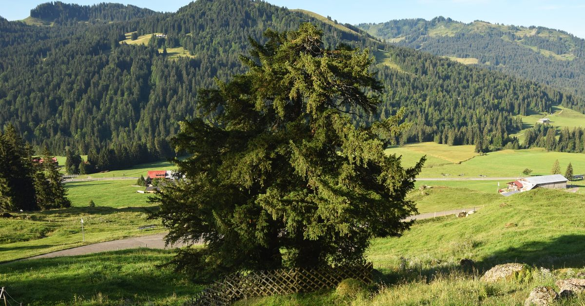 Berühmt Starke Baumtypen: Die alte Eibe in Balderschwang - Baumpflegeportal &KR_63