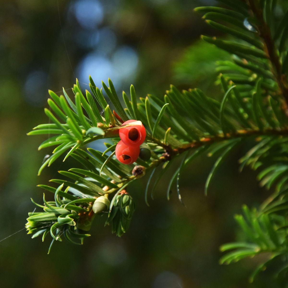 Geliebte Starke Baumtypen: Die alte Eibe in Balderschwang - Baumpflegeportal #PI_78
