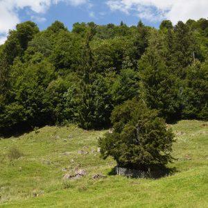 Baum auf einer Wiese. Im Hintergrund wächst Wald