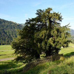Baum mit zwei Stämmen ist von einem Zaun umgeben