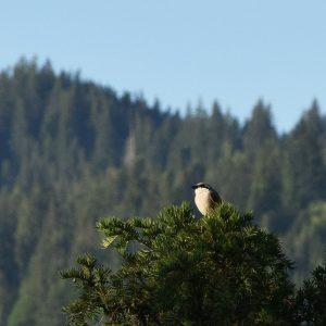 Grauer Vogel auf einer Baumkrone