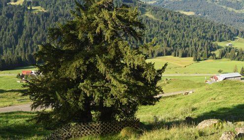 Alter kleiner Baum an einem Berghang mit Zaun