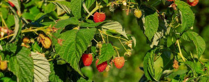 Himbeerstrauch mit Früchten
