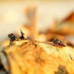 Zwei schrwarzbraune Käfer auf einem Holzstück