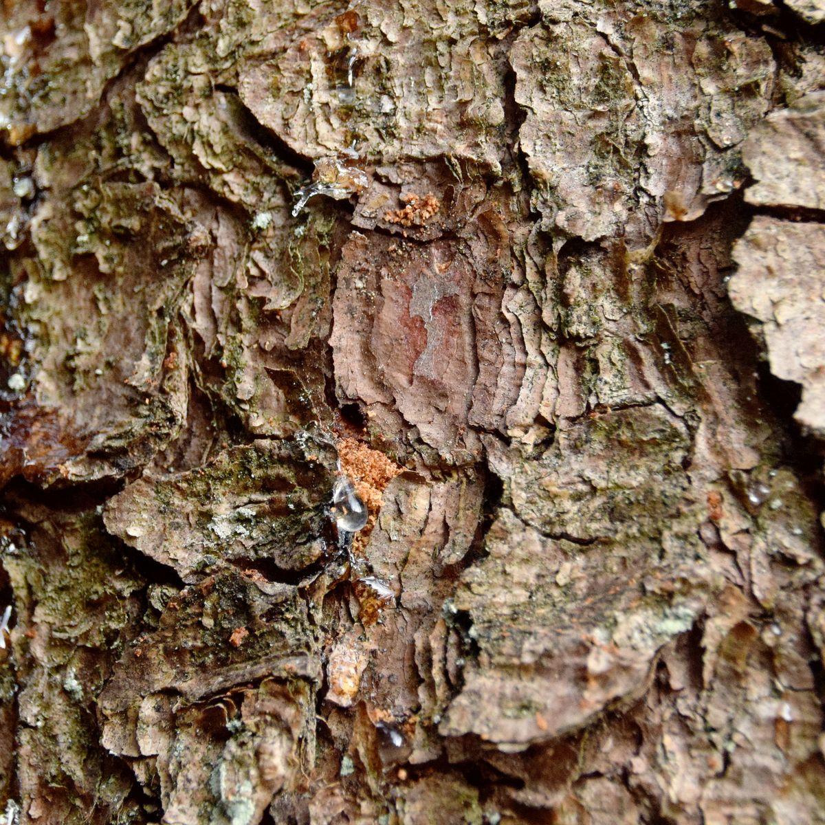 Beliebt Bevorzugt Borkenkäferbefall an der Fichte im eigenen Garten - Baumpflegeportal @OP_13