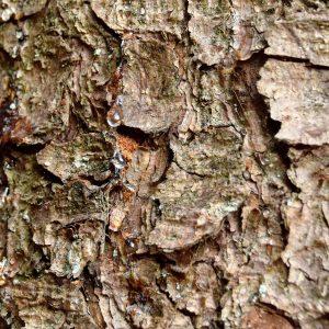 Kleine Tropfen von Baumharz auf der Rinde einer Fichte