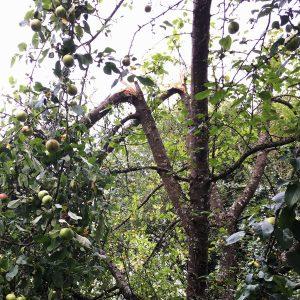 Zwei abgebrochene Äste an einem Apfelbaum