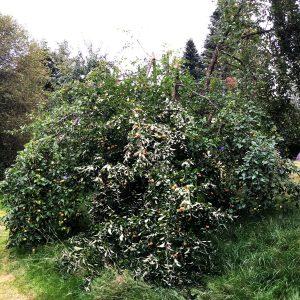 Auseinander gebrochene Krone eines Apfelbaumes