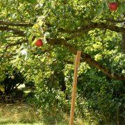 Holzpfosten stützt einen Ast eines Apfelbaumes