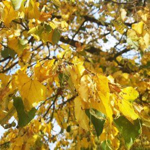 Gelbe und Grüne Lindenblätter