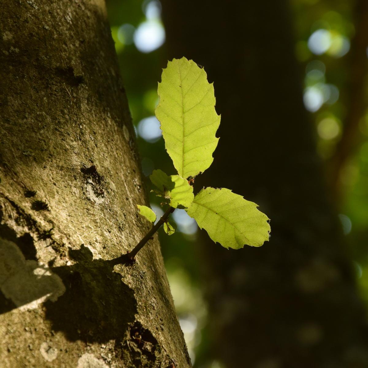 Baum des Jahres 2018: Richtiger Schnitt bei Esskastanie