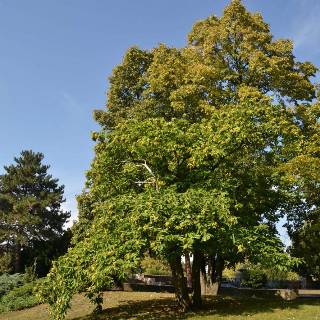 Esskastanien Baum