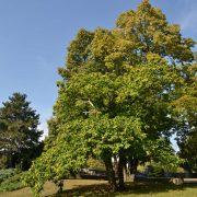 Großer Esskastanienbaum auf einer Wiese