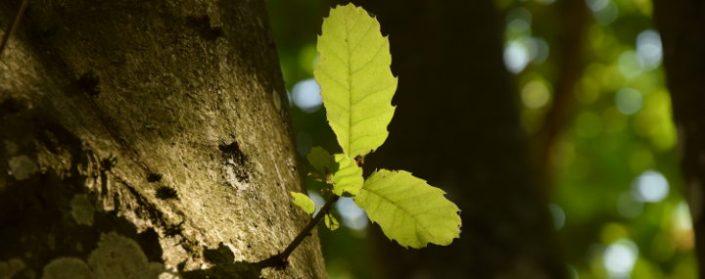 Junger Zweig an Esskastanie