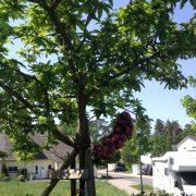 Mispelbaum mit blütenbehangenem Rotdorn-Ast