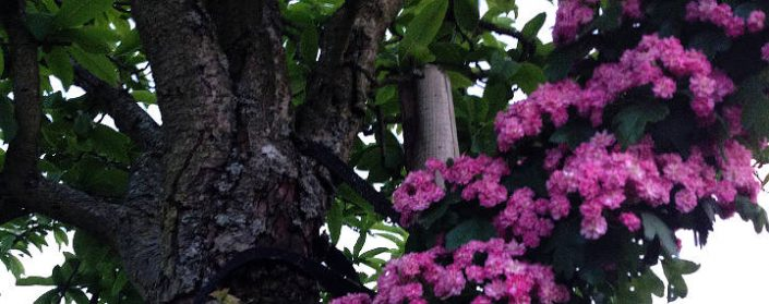 Ein Ast des Rotdorns mit Blüten an einem Mistel-Baum