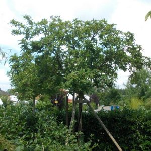 Mispel-Hochstamm in einem Garten