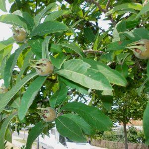 Blätter und Früchte der Mispel