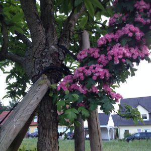 Rotdornast mit Blüten wächst unter der Veredelungsstelle aus dem Stamm.