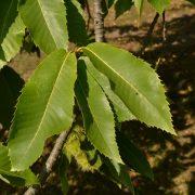 Blätter der Esskastanie mit Zähnchen am Rand