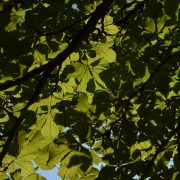 Blätter der Rosskastanie an einem Ast von unten gegen die Sonne fotografiert.
