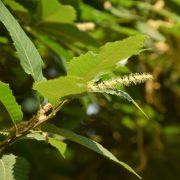 Zweig der Esskastanie mit einer Blüte, die länglich aus den Blättern herausragt.