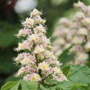 weiße-rosa Blüte der Rosskastanie