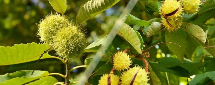 Blätter und Früchte der Ross- und Esskastanie