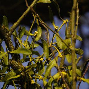 Mistel mit grünen Blättern und gelben Blüten.