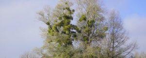 Baum voller Msiteln