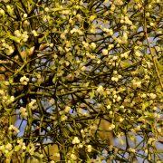 Mistel mit weißen Beeren